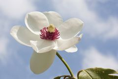 Magnoliasiboldii stock foto