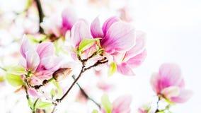 Magnoliasoulangeana die, de lentetijd tot bloei komen Stock Fotografie