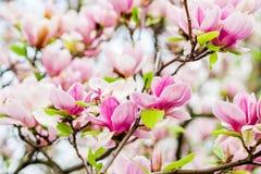 Magnoliasoulangeana die, de lentetijd tot bloei komen Royalty-vrije Stock Foto's