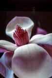 Magnoliasoulangeana, träd för tefatmagnolia Arkivbilder