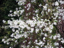Magnoliastellata - stjärnamagnolia Arkivfoton