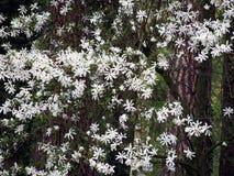 Magnoliastellata - stjärnamagnolia Royaltyfria Foton