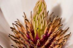 Magnoliastigma stock foto