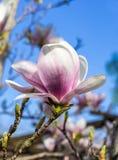Magnoliaträd Fotografering för Bildbyråer
