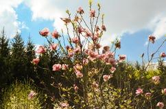 Magnoliaträd i blom med rosa blommor Fotografering för Bildbyråer