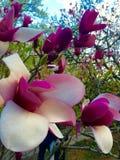 Magnoliaträd i Kiev arkivbild