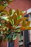 Magnoliaträd i savannahen, GUMMIN Arkivfoton