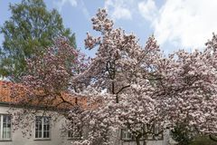 Magnoliaträd i vår Arkivbilder