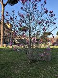 Magnoliaträd med en traditionell italiensk byggnad bakom Royaltyfri Bild