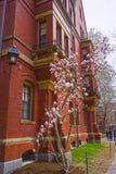 Magnoliaträd som blommar på byggnad för Harvard datorsamhälle Arkivfoto