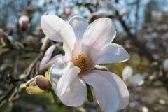 Magnoliaträdblomning Royaltyfria Foton