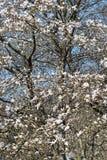 Magnoliaträdblomning Arkivbilder