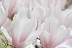 Magnoliaträdblomning Royaltyfri Bild