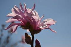 Magnoliaträdblomning Royaltyfria Bilder