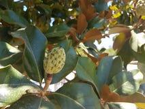 Magnoliaträdet kärnar ur Royaltyfri Fotografi