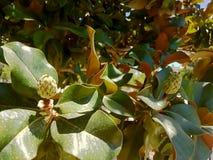 Magnoliaträdet kärnar ur Arkivbild
