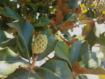 Magnoliaträdet kärnar ur Royaltyfri Foto