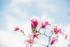 Magnoliaträdfilial i blomning Royaltyfri Foto