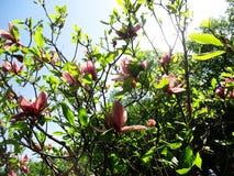 Magnoliaträdgården, botaniska trädgården och de rosa magnoliorna blomstrar arkivbilder