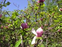 Magnoliaträdgården, botaniska trädgården och de rosa magnoliorna blomstrar royaltyfri foto