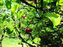 Magnoliaträdgården, botaniska trädgården och de rosa magnoliorna blomstrar royaltyfria foton