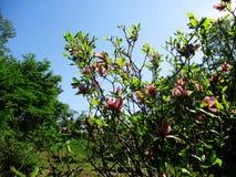Magnoliaträdgården, botaniska trädgården och de rosa magnoliorna blomstrar royaltyfria bilder