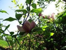 Magnoliaträdgården, botaniska trädgården och de rosa magnoliorna blomstrar fotografering för bildbyråer