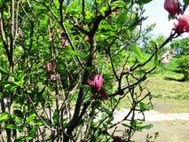 Magnoliaträdgården, botaniska trädgården och de rosa magnoliorna blomstrar arkivbild