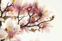 Magnoliaträd Arkivbilder