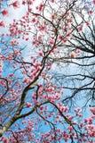 magnoliatree Arkivbilder
