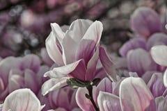 Magnoliavit och rosa färger Arkivfoto