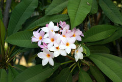 magnolie Στοκ Εικόνες