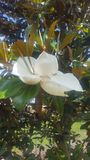 magnolie lizenzfreies stockfoto