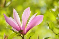 magnolie Stockbild