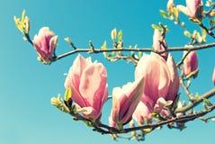 magnolie Stockfotografie