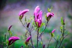 magnolie Lizenzfreie Stockfotografie