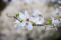 magnolie Stockfotos