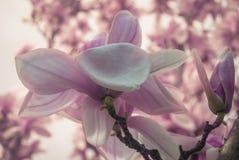 magnolie Stockfoto