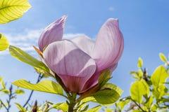magnolie Lizenzfreie Stockfotos