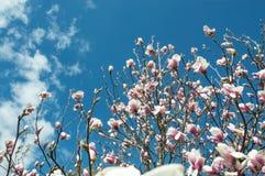 Magnolie auf Hintergrund des blauen Himmels Stockfoto