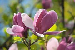 Magnolie auf unscharfem mehrfarbigem Hintergrund Stockbilder