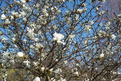 Magnolie-Baum Stockfotos