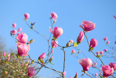 Magnolie blüht Blüte Stockfotos