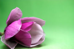 Magnolie-Blüte Stockfoto