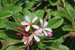 Magnolie Champa-Blume in der Park-roten Farbe Stockfotografie