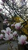 Magnolie de florecimiento imágenes de archivo libres de regalías