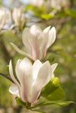 Magnolie in der Blüte stockfotografie