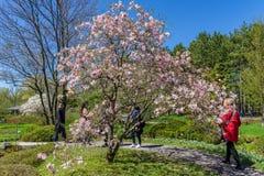 Magnolie, die an botanischem Garten Montreals blüht Lizenzfreie Stockfotografie