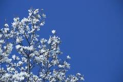 Magnolie, die im Vorfrühling blüht Hohe Abbildung der Auflösung 3D auf Weiß Stockbilder
