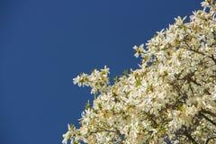 Magnolie, die im Vorfrühling blüht Hohe Abbildung der Auflösung 3D auf Weiß Lizenzfreie Stockbilder